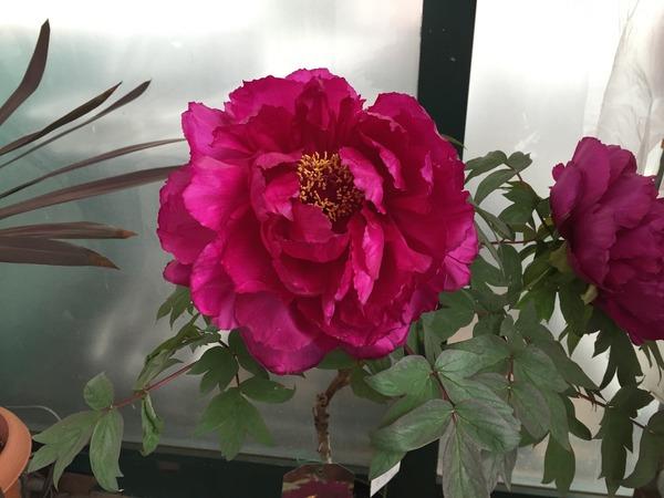 初ブログ!!こんにちは☀️ 本日のお花は・・・牡丹です❗️サムネイル